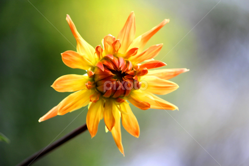 Lone Flower by Aaron Stephenson - Flowers Single Flower ( nature, garden, flower,