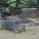 Monitor Lizard (Bayawak)