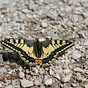 Common Yellow Swallowtail