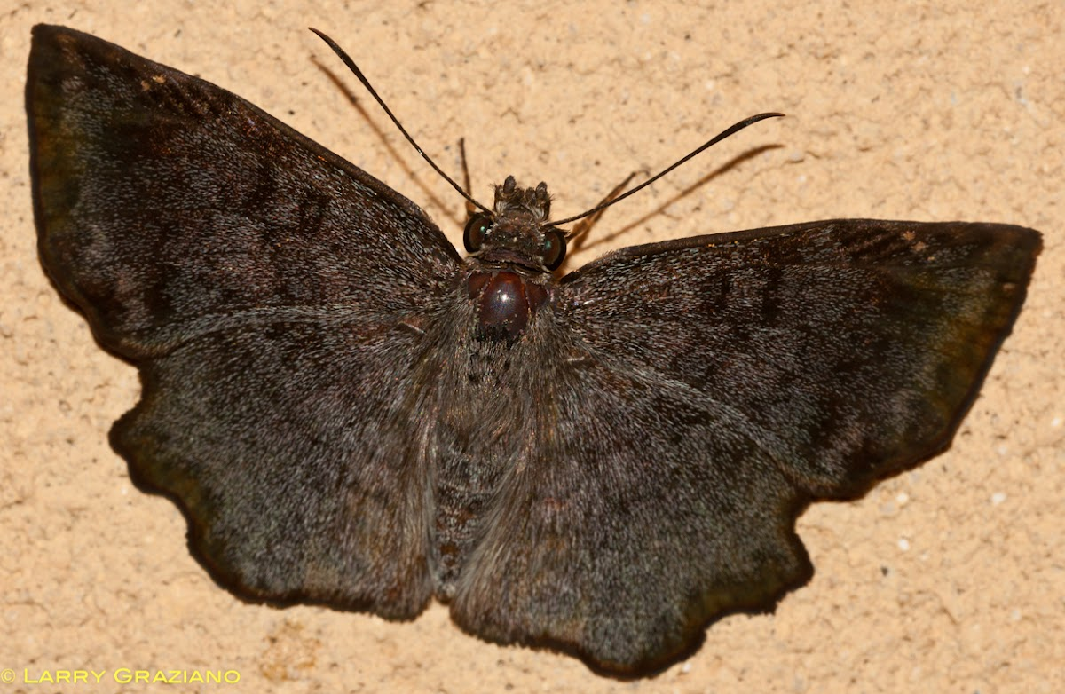 Common Spurwing Butterfly