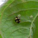 Yellow Ladybug- eggs
