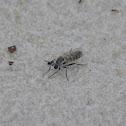Fan-bristled Robberfly