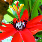 Crimson Passion Flower