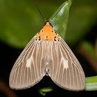 Orange head Moth