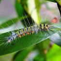 Rose Myrtle Lappet Moth Caterpillar