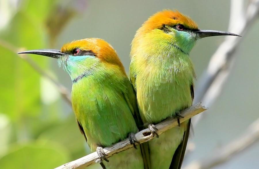 Green Bee-eaters by S Balaji - Animals Birds ( wild, s.balaji, animals, style, nature, green bee-eaters, birds,  )