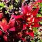 Bromeliad, Vriesea