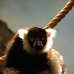 Curious by Sebastian Mezei - Animals Other ( zoo, monkey )