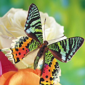 Butterflies Jigsaw Puzzles for PC and MAC