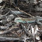 Male Six-lined Racerunner Lizard