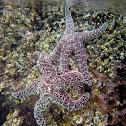 Ochre Sea Star (Purple Sea Star)