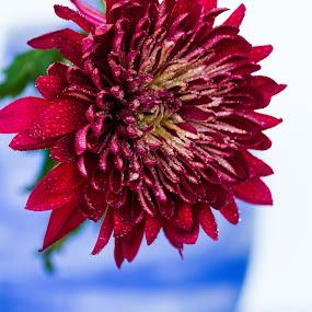 Dalia by Luis Mendez - Flowers Single Flower