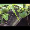 Lilikoi/Passionfruit