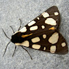 Cream-spotted Tiger