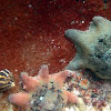 Bat Starfish