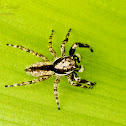 Gray wall Jumping Spider(Male)