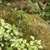 Striped Bronzeback Snake