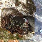 Juvenile Pleated Rock Crab (tentative ID)