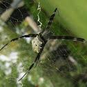 East Asian Signature Spider