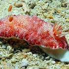 Reticulated Nudibranch