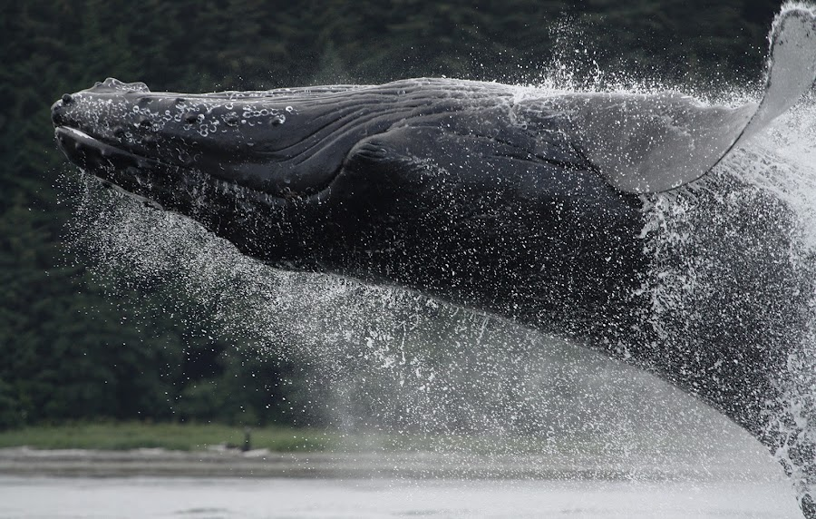 Eyes closed tight by Adam Taylor - Novices Only Wildlife ( humpback, breach, alaska, whale, eyes )