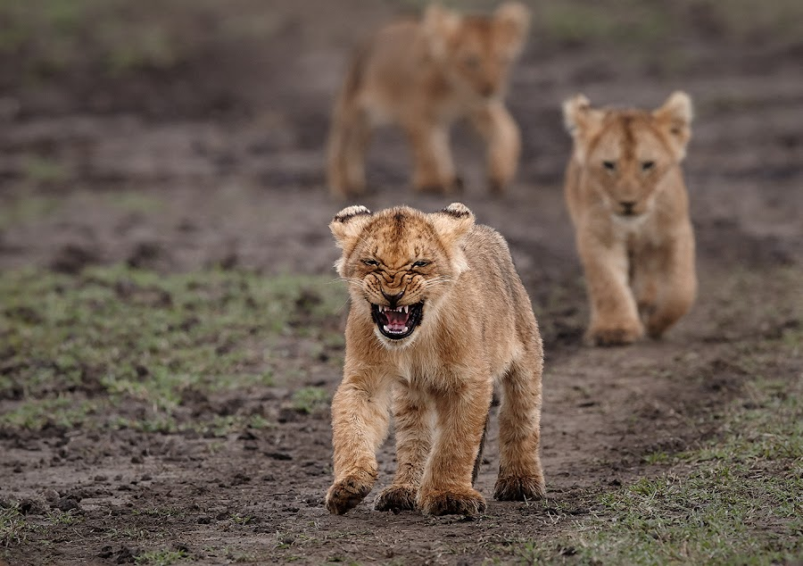 On the move ! by Andy Howe - Animals Lions, Tigers & Big Cats ( lion, animals, maasai mara, african wild life, marsh pride, bigcats, cubs, africa, cute,  )