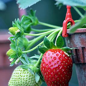 Merah itu menawan... by Azman Kamaruddin - Food & Drink Fruits & Vegetables