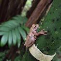 Small-eared Treefrog