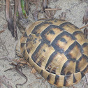 Spur-tighed tortoise