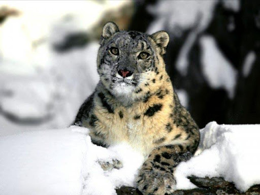Snow Leopard Wallpapers II