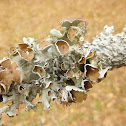 Perforated Ruffle Lichen