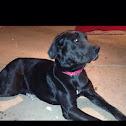 Great Dane    Mastiff