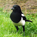 Magpie-black billed