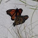 Monarch Butterflies (Mating)