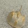 Horse shoe crab molt