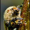 Bumble Flower Beetle (Brown Fruit Chafer)