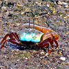 Male fiddler crab  Uca sp