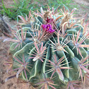 cactus barrel