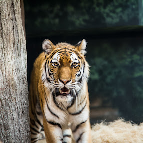 prowl by Rob Giannese - Animals Lions, Tigers & Big Cats