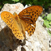 Silver-washed Fritillary (male)