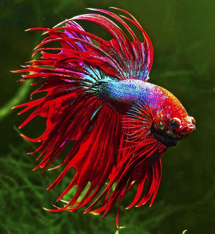 Red & Blue betta by David Winchester - Animals Fish (  )