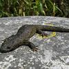 Iberian ribbed newt
