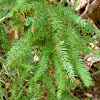 Climbing Asparagus Fern