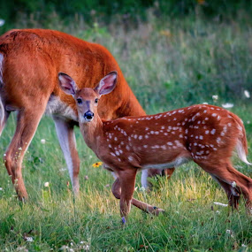 Dad with young fawn.  by Kathy Val - Animals Other (  )