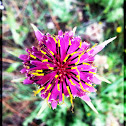 Common salsify, Jerusalem star