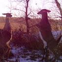 Whitetail Deer (female)