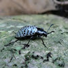 Pleasing fungus beetle