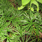 Fan Clubmoss