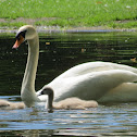 Mute Swan w/cygnets