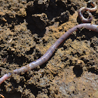 Unknown Earthworm